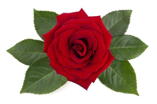 Red rose flower and leaves arrangement isolated on white background, top view, design element for Valentines day