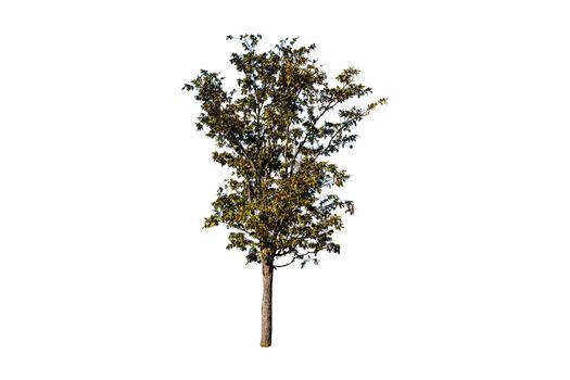 Single tree isolated on white background.