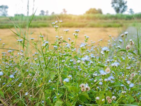 Beautiful colored grass flowers blooming in the meadow in the morning.