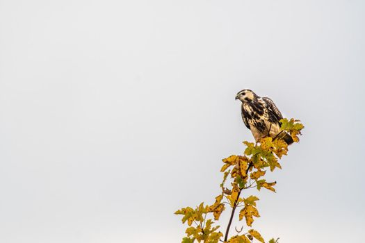 a buzzard on the hunt