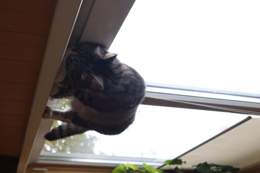 A gray cat stands on the windowsill by the window