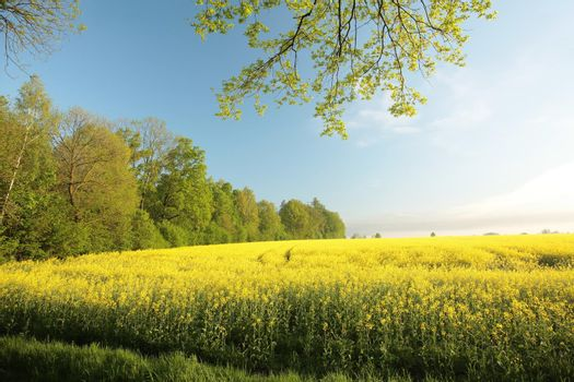 Rape field at the edge of a forest in the morning.
