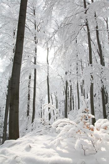 Trees covered with frost in a snowy winter forest on a sunny morning.