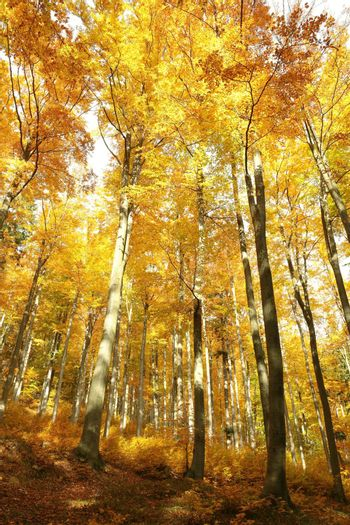 Golden leaves of trees in autumn forest highlighted by morning sun.