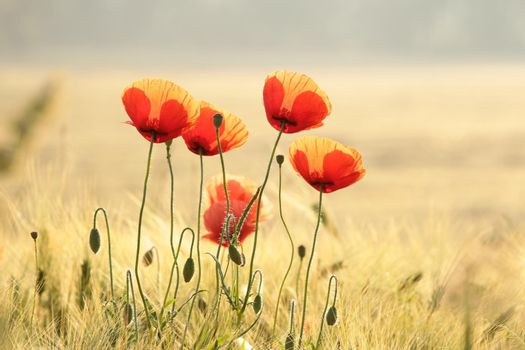 Poppies in the field at sunrise.
