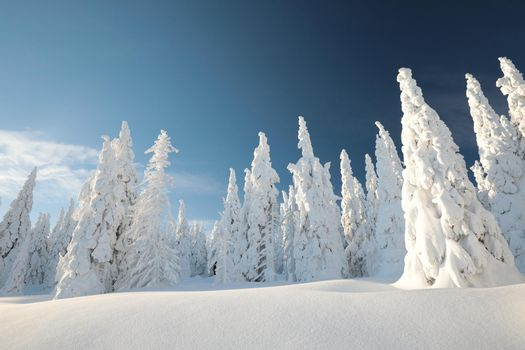 Spruce trees covered with snow on the mountain top at sunset.