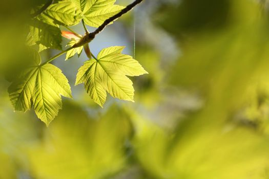 Sycamore maple leaves