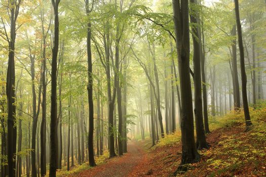 Beech trees in autumn forest on a foggy, rainy weather.