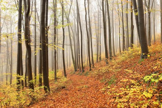 Beech trees in autumn forest on a foggy, rainy weather