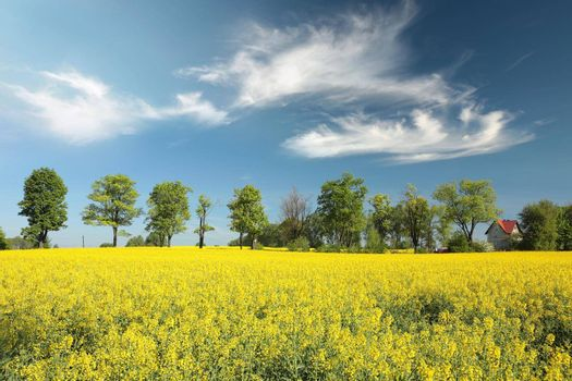 Maple trees on a blooming rapeseed field.
