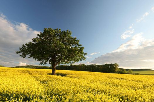 Tree on a blooming rapeseed field at dusk.