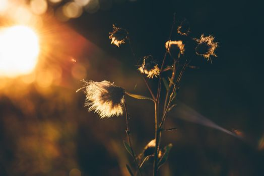 Fluffy dry flowers