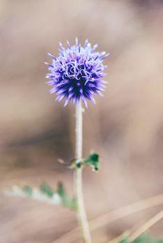 Flower bud of violet globe thistle