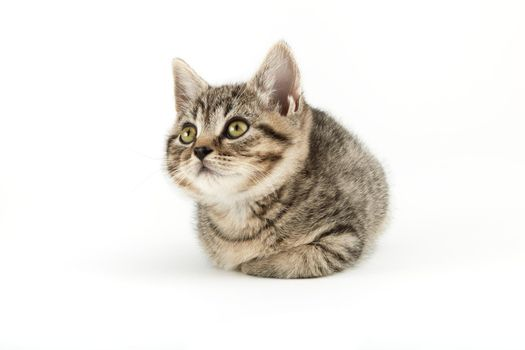 Little tabby (European Shorthair) kitten isolated on white background.
