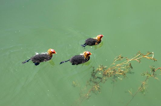 Waterfowl chicks