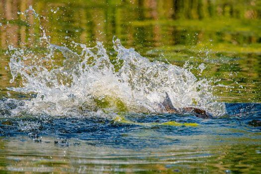 Spawning is a highly energetic and physically demanding event for carp