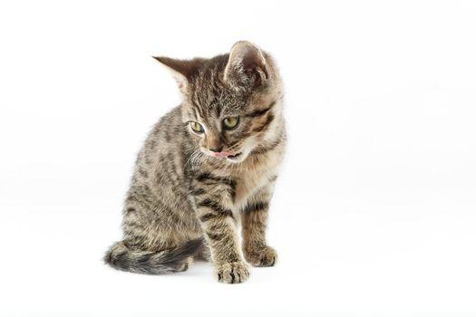 Small tabby (European Shorthair) kitten isolated on white background.