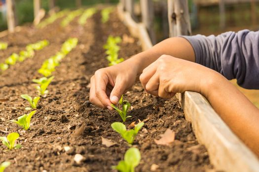 Hand of Asian Farmer planting Baby Tiny salad Vegetable as Row in Wood plant Nursery or Green House as Agriculture Concept