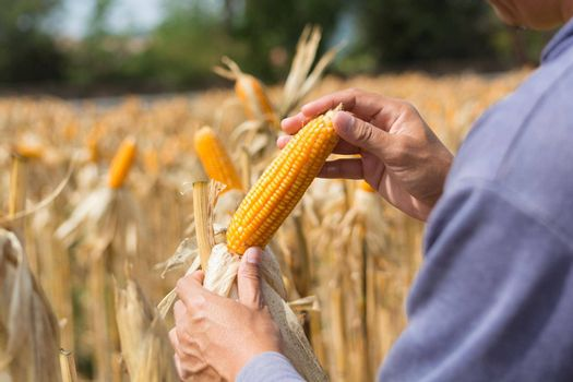 Closeup Ripe feed Corn Cob Hold in Hand of Farmer or Cultivator in Dry Corn Field as agro-industry and agricultural produce Concept
