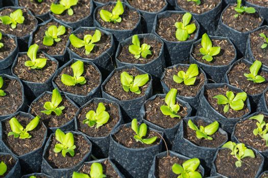 Planting seedlings or Plug of Green mache Salad Vegetable in plastic bags before planting in the soil, Gardening Concept