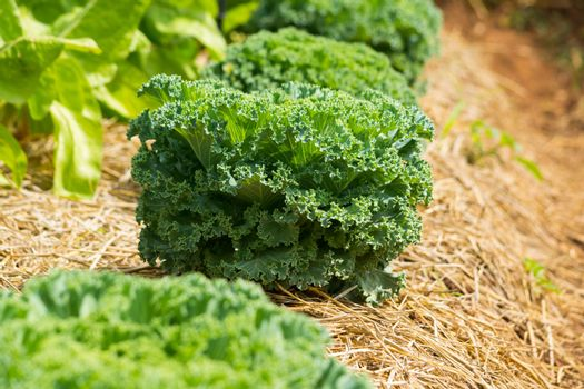 Green Lettuce Salad Plant in a row in Vegetable Garden as Agiculture or Agro industry Concept.