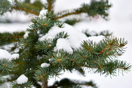 Spruce covered with snow on the street