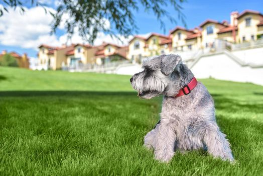 portrait of a beautiful dog schnauzer sitting on the grass and looking into the distance in the park.The concept of love for animals. best friends.