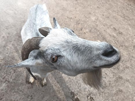 the goat is looking at the camera. farm and farming concept.