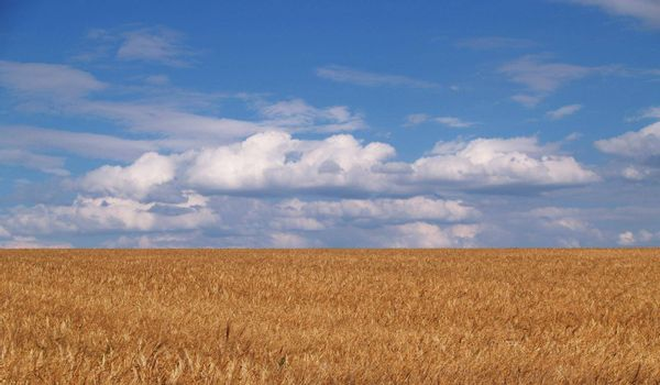 General plan of golden wheat against a blue sky with clouds on a sunny summer day.