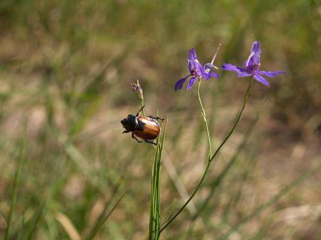 Anisoplia segetum. The beetle hangs on the stem of the flower. Beetle acrobat. The beetle holds onto the flower.