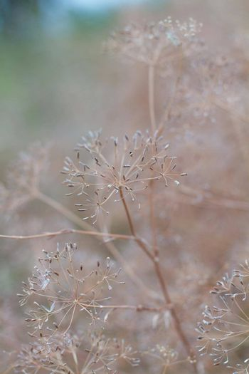 Closeup of dill umbrellas. Dill growing on the field background. Dry fennel umbrellas with seeds.  Shallow depth of field.