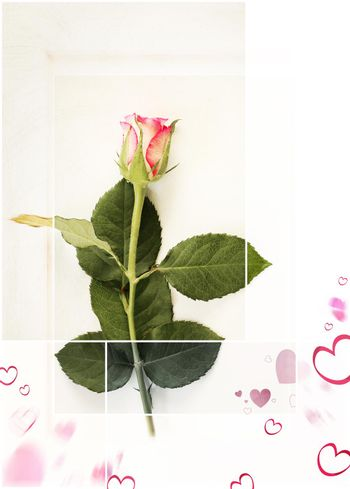 Fresh single rose on white background in vintage trendy style with pink hearts. Symbol of love, Valentines day, 8th March, Mothers day, birthday, wedding, Easter, thank you concept