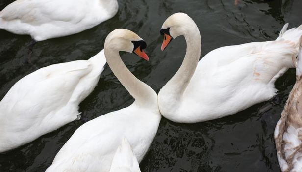 Two white swans, top view, symbol of love