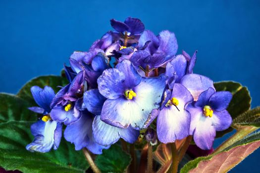 detail of a white and blue african violet flower against a blue background