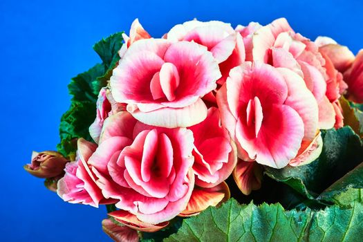 detail of red begonia flowers against blue background