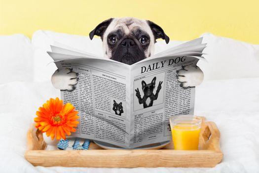pug dog newspaper