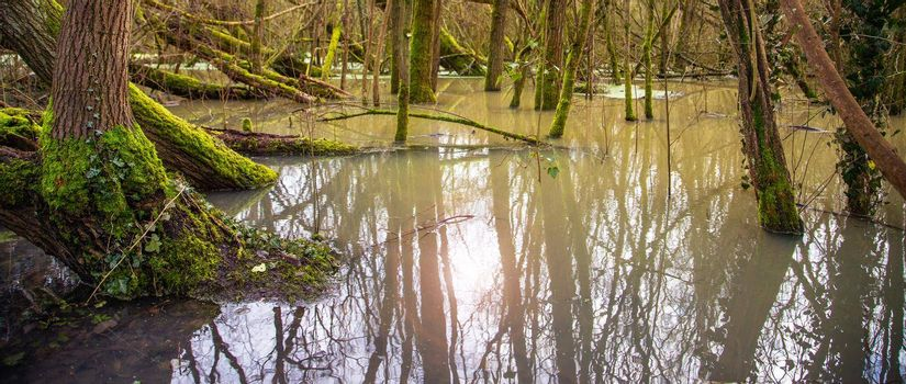 bog forest, water flooded trees, fallen old trees with green moss, early spring. UK, England
