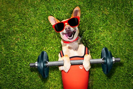 chihuahua dog doing and exercising sport with Dumbbell bar in the park meadow lying on grass, trying very hard