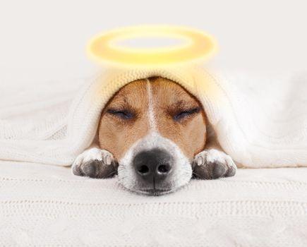 sleeping angel halo dog in bed