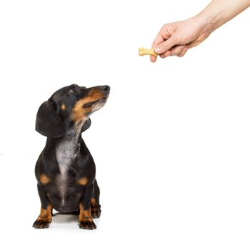 hungry dachshund with treat
