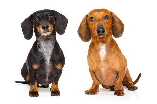 couple of two  dachshund or  sausages dogs