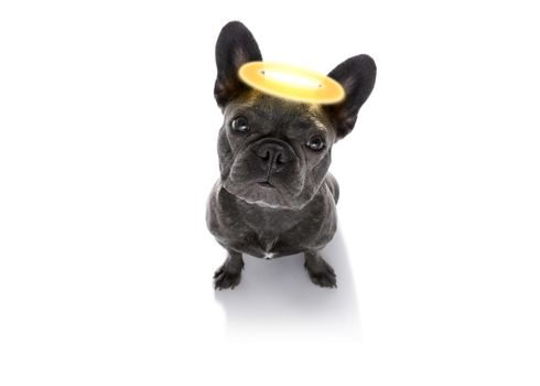 angel dog with halo
