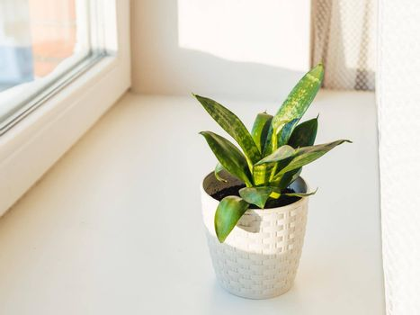Flower pot with Sansevieria. Indoors plant on windowsill. Peaceful botanical hobby. Gardening at home.