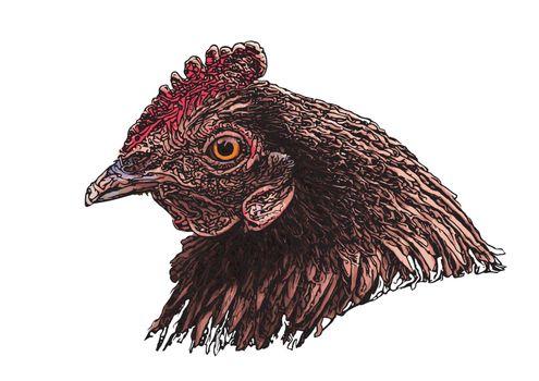 hen head vector illustration