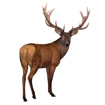 The Red deer is native to Europe, Asia, Iran and Africa is one of the largest species of ungulates.