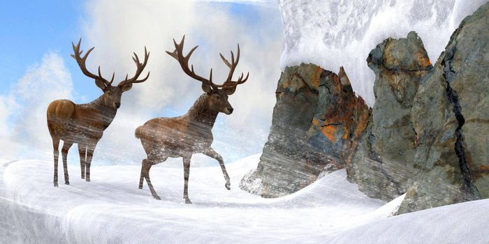 Two Red deer stags brave ferocious blizzard winds to wind their way through a narrow mountain pass.