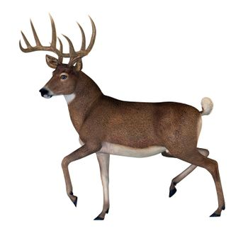 The herbivorous White-tailed deer lives in North and South America and is an abundant species.