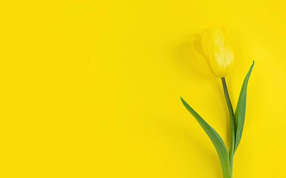 Tulip on a yellow background. Mimimalistic flat lay with copy space.