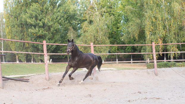 Horse regular training running circle arena.