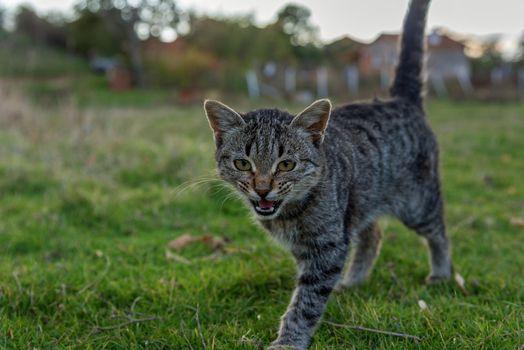 beautiful cat walking in autumn.
